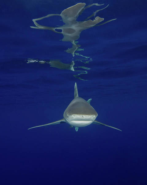 Carcharhinidae Photograph - An Oceanic Whitetip Shark And Surface by Brent Barnes
