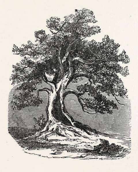 Old Style Drawing - An Old Oak, In Its Decayed State by English School