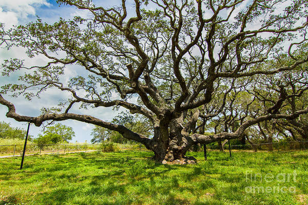 Wall Art - Photograph - An Old Oak Tree On Canes by Ellie Teramoto