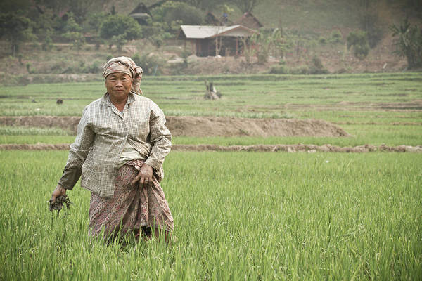 Senior Adult Photograph - An Old Woman Working In A Rice Field by Nicholas J Reid