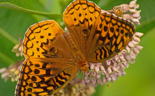 Photograph - An Orange Butterfly by Rima Biswas
