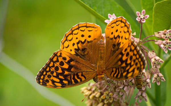 Photograph - Great Spangled Fritillary by Rima Biswas