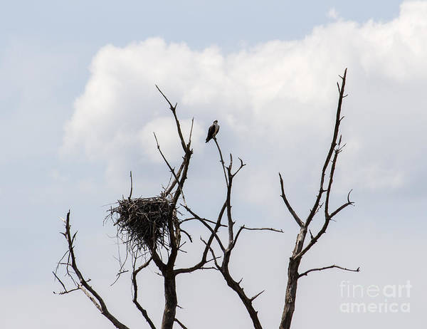 Photograph - An Osprey Perches By Its Nest In A Dead Tree At Eastern Neck Nwr by William Kuta