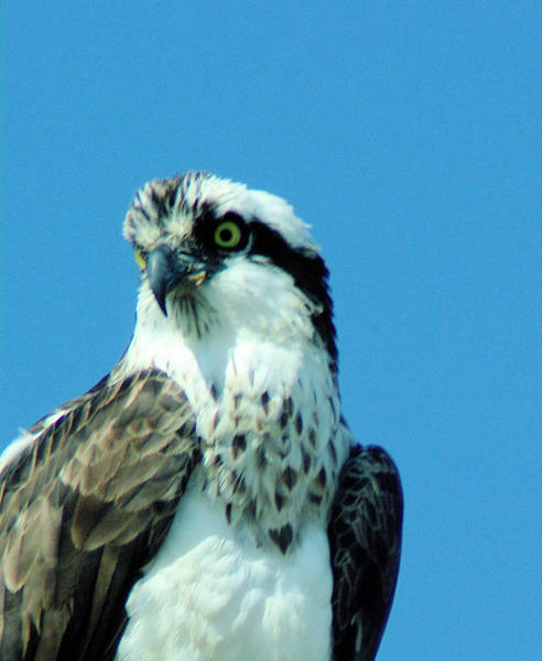 Living Things Photograph - An Osprey Portrait by Jeff Swan