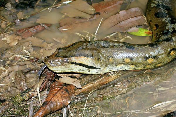 Anaconda Art Print