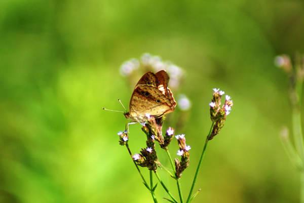 Photograph - Anartia Jatrophae by Kim Pate