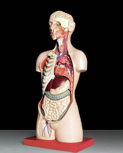 Anatomical Position Wall Art - Photograph - Anatomical Model by Kate Jacobs/science Photo Library