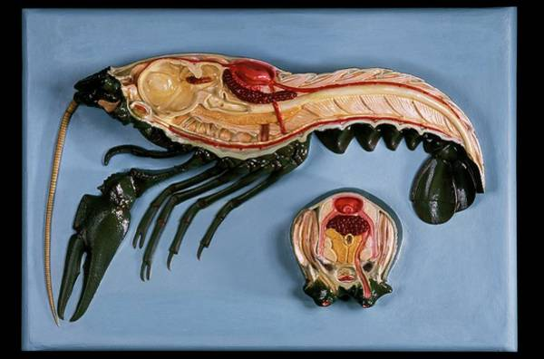 Wall Art - Photograph - Anatomical Model Of A Crayfish by Patrick Landmann/science Photo Library