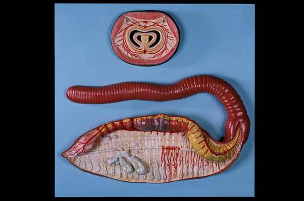 Wall Art - Photograph - Anatomical Model Of An Earthworm by Patrick Landmann/science Photo Library