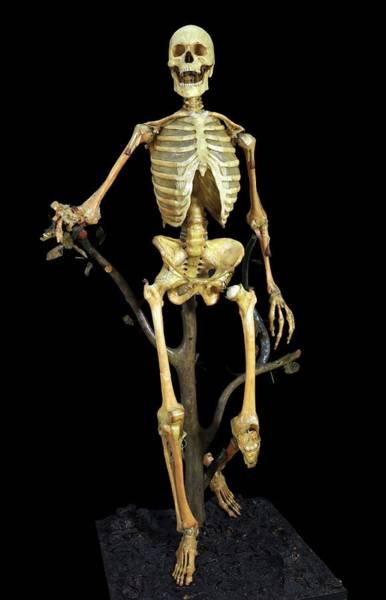 Anatomical Model Photograph - Anatomical Skeleton Model by Javier Trueba/msf