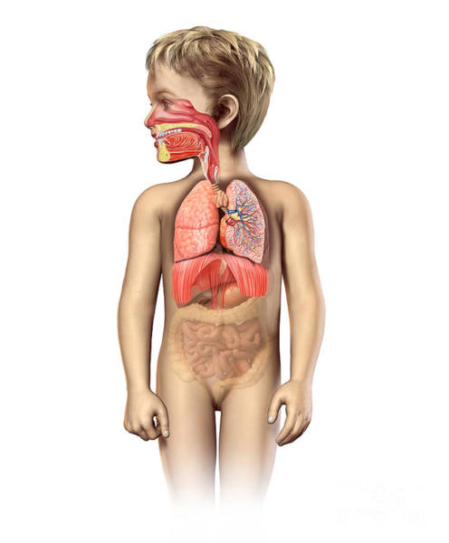 Bladder Digital Art - Anatomy Of A Childs Full Respiratory by Leonello Calvetti
