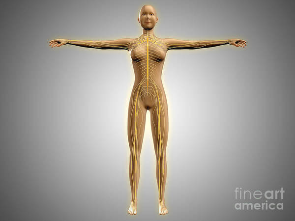 Lumbar Plexus Digital Art - Anatomy Of Female Body With Nervous by Stocktrek Images
