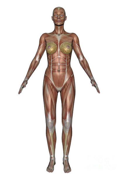 Muscle Tissue Digital Art - Anatomy Of Female Muscular System by Elena Duvernay