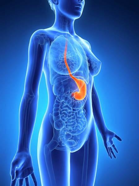 Esophagus Wall Art - Photograph - Anatomy Of Female Stomach by Sebastian Kaulitzki
