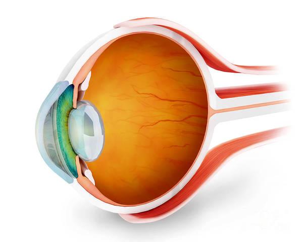 Eyeball Digital Art - Anatomy Of Human Eye, Perspective by Stocktrek Images