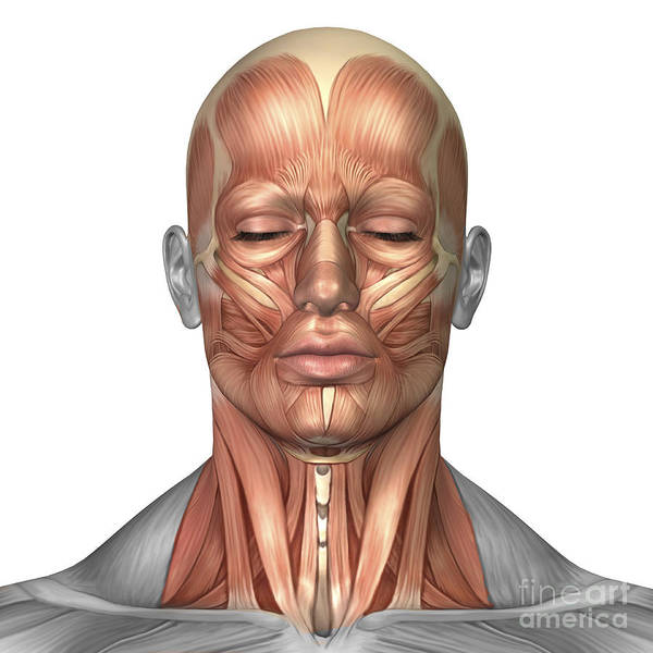 Muscle Tissue Digital Art - Anatomy Of Human Face And Neck Muscles by Stocktrek Images