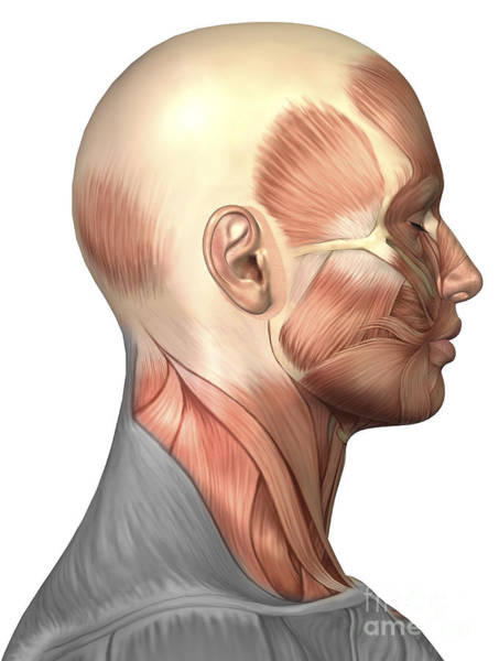 Muscle Tissue Digital Art - Anatomy Of Human Face Muscles, Side by Stocktrek Images