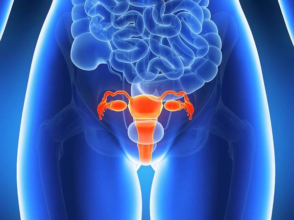 Biological Illustration Wall Art - Photograph - Anatomy Of Human Uterus by Sebastian Kaulitzki