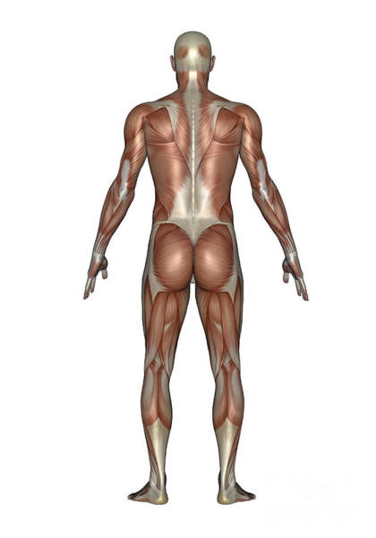 Muscle Tissue Digital Art - Anatomy Of Male Muscular System, Back by Elena Duvernay
