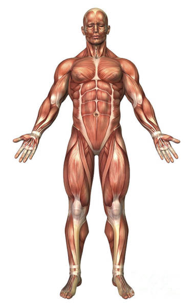 Muscle Tissue Digital Art - Anatomy Of Male Muscular System, Front by Stocktrek Images