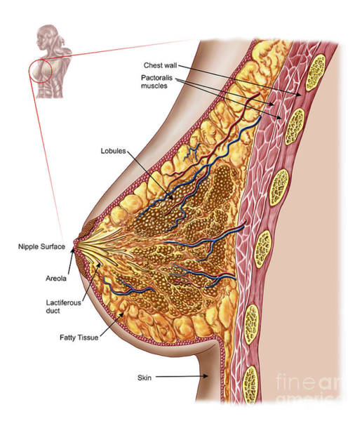 Muscle Tissue Digital Art - Anatomy Of The Female Breast by Stocktrek Images