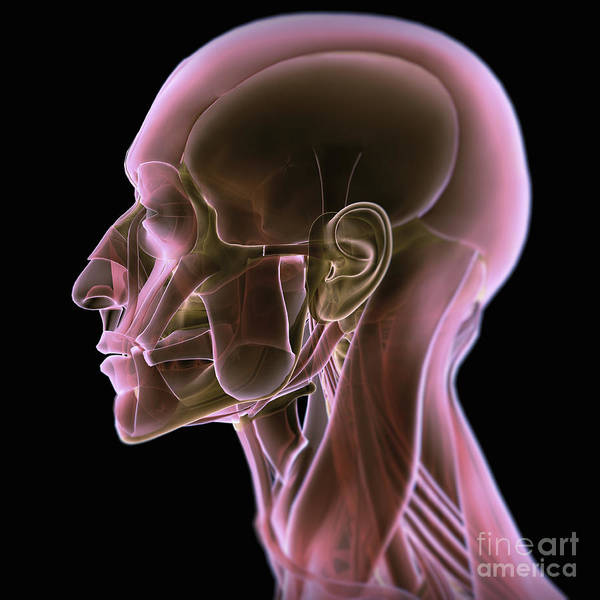 Photograph - Anatomy Of The Head by Science Picture Co