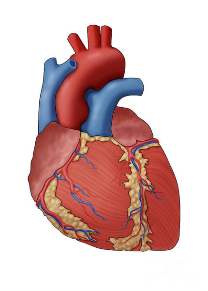 Photograph - Anatomy Of The Human Heart, Illustration by Monica Schroeder