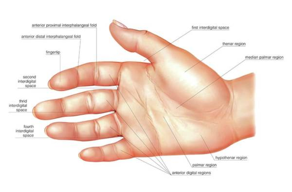Hand Anatomy Wall Art - Photograph - Anatomy Regions Of The Hand by Asklepios Medical Atlas