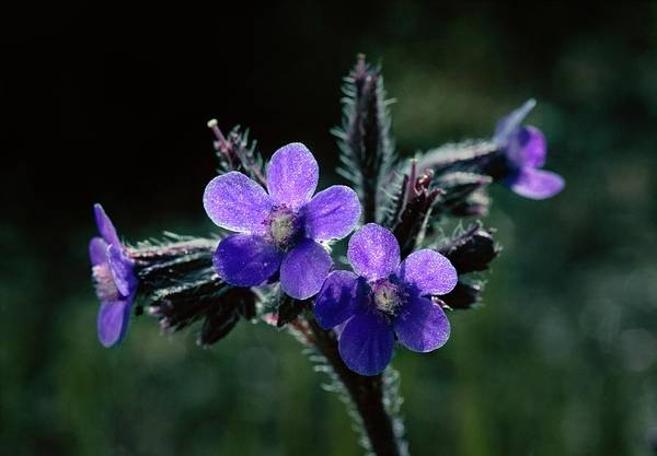 Staples Photograph - Anchusa Azurea. by Roger Standen/science Photo Library