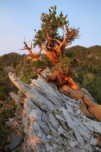 Pine Tree Photograph - Ancient Bristlecone Pine Forest by Feargus Cooney