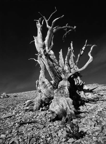 Pine Grove Photograph - Ancient Bristlecone Pine Tree Clings by Jerry Ginsberg