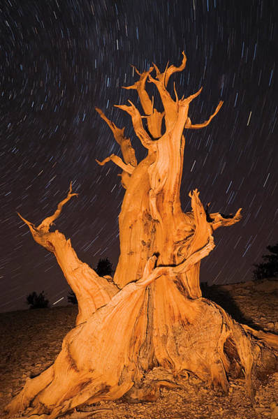 Big Pine Wall Art - Photograph - Ancient Bristlecone Pine Under Starry by Russ Bishop