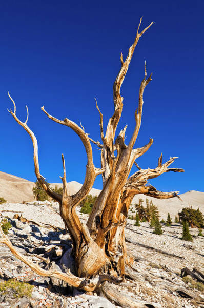 Big Pine Wall Art - Photograph - Ancient Bristlecone Pines by Russ Bishop