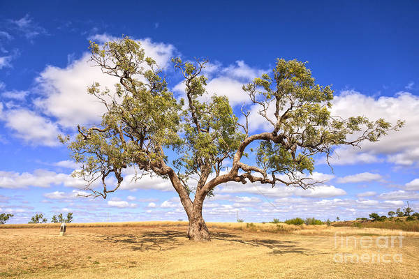 Eucalyptus Photograph - Ancient Coolabah Tree by Colin and Linda McKie