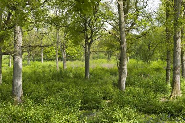 Coppice Photograph - Ancient Coppice Woodland, Wayland Wood by Science Photo Library