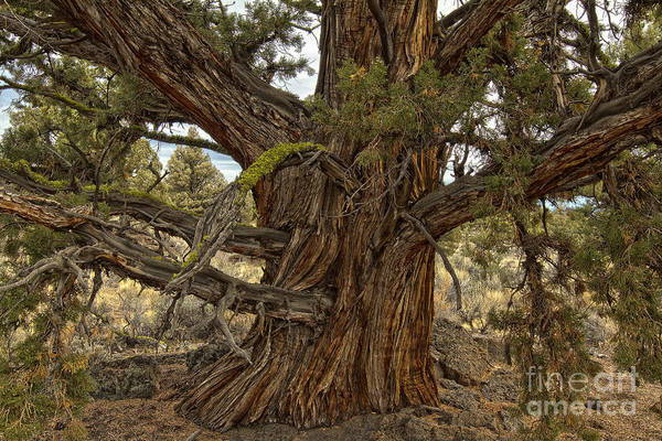 Photograph - Ancient Juniper by Stuart Gordon