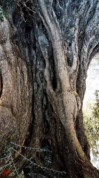 Photograph - Ancient Old Fine Olive Tree 6 Mountain Spain  by Colette V Hera  Guggenheim