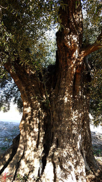 Photograph - Ancient Old Olive Tree In The Mountains Of Almeria Spain  by Colette V Hera  Guggenheim