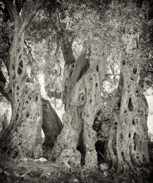 Photograph - Ancient Olive by Paul Cowan