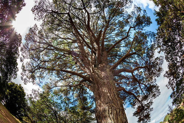 Auckland Photograph - Ancient Pine Above Auckland, New Zealand by James White