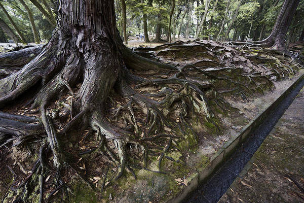 Storm Drain Photograph - Ancient Trees Of Nara Park by Daniel Hagerman