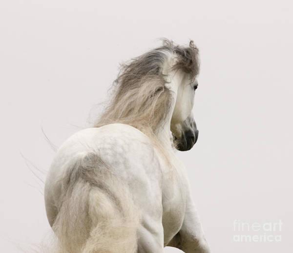 Andalusian Stallion Wall Art - Photograph - Andalusian Stallion Runs At Dawn by Carol Walker