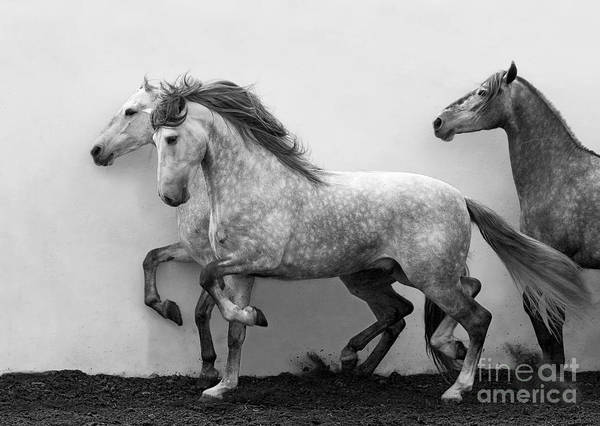 Andalusian Stallion Wall Art - Photograph - Andalusians In Step by Carol Walker