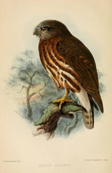Owl Painting - Andaman Hawk Owl by Dreyer Wildlife Print Collections