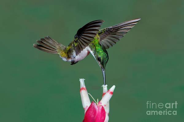 Photograph - Andean Emerald Hummingbird by Anthony Mercieca