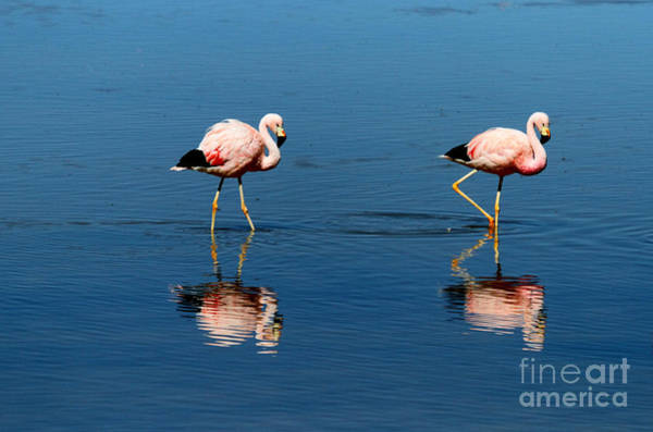Photograph - Andean Flamingos by James Brunker