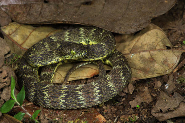 Wall Art - Photograph - Andean Forest-pitviper(bothriopsis by Pete Oxford