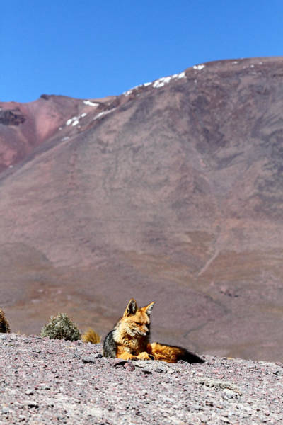 Photograph - Andean Fox by James Brunker
