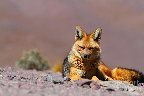 Photograph - Andean Fox Portrait by James Brunker