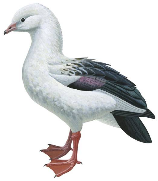 Goose Drawing - Andean Goose by Anonymous